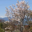 今、白馬山麓は桜 満開