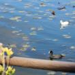 最後のメタセコイアの黄葉&アルビノの白いオオバン(突然変異の野鳥)