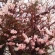♪梅は〜、咲いたか♪