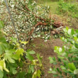アーモンドの花~昨年の台風で倒木してしまいましたが・・・