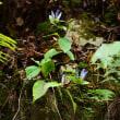 林道の竜胆
