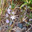 新城・紫センブリ・・(2)
