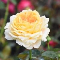 ☆クラフトパークノ秋薔薇...♫
