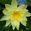黄色の 睡蓮   H30