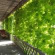 2面に完成した緑のカーテン