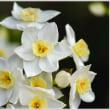 「自宅の庭に咲いた草花 」   (3の2)   ★ 2018.03.25 ★