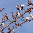 多摩川で梅の花