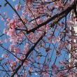 河津桜🌸咲き始めました
