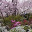 原谷苑のさくら園