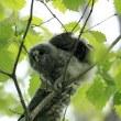 今日の鳥 エゾフクロウの雛 1羽は洞から出て1羽は洞の中 色々な表情を見せてくれました。