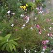 やはり秋は キク科の花が素敵!・・・シュウメイギクなど