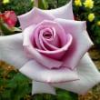 やはり薔薇は花の王様!
