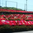 福岡県星野村のシャクナゲ園へ行って来ました。