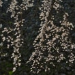 桜行脚②・・・城跡の桜