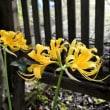 黄花リコリス トラカン