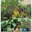 4年前に栽培しはじめたアボカドの木