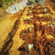 キャベツの苗を定植する