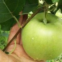 りんご園の今
