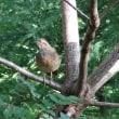 木の上のコジュケイ
