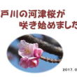 江戸川の河津桜が咲き始めました