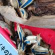 旅人の木 種子は青い!