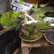 苔盆栽展の準備に入りました。