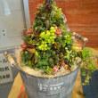 多肉植物のクリスマスツリー!