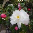 山茶花が咲き出して