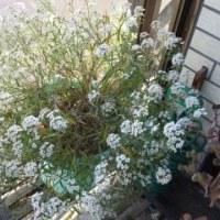 我が家の花々