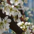 貴陽花咲く