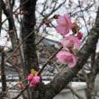 咲き出した、濃いピンクの桜が! 海風「桜の樹の下で2019」