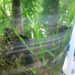 スクリューバリスネリアは自由に育つ