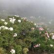 標高3000メートルに咲く杜鵑花(ツツジ)