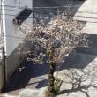 2018年・春。 桜、早咲きする。。(2018年03月17日頃)