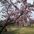 準備着々と、高田公園。