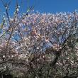 大宮第2公園梅祭りへ