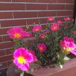 ポーチュラカの花