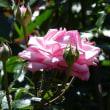 光陵公園のバラ2018.5.20