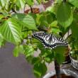 アゲハの越冬蛹羽化、2匹目