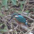 散歩道で見たコガモ、カワセミ