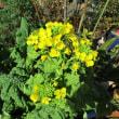 菜の花復活