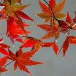 まだ紅葉が・・・メジロくんも来た!