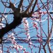 桜開花のニュースが流れた我が家にも春が来た。今年一番乗りのモンシロチョウもひらひらと。悩んでいた喉と咳き込みの不調も忘れたようだ。
