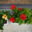 ハイビスカスの花が咲きました!