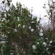 秋咲きヒマワリが開化♪