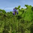 高ボッチ高原・鉢伏山で最近咲いている花 アヤメ(菖蒲、文目)