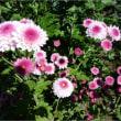 11月の畑 (菊作り)