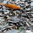 アカヒゲ雛の為の餌、その4:ミミズ