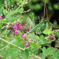 マルバハギ開花