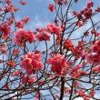 今朝の寒緋桜